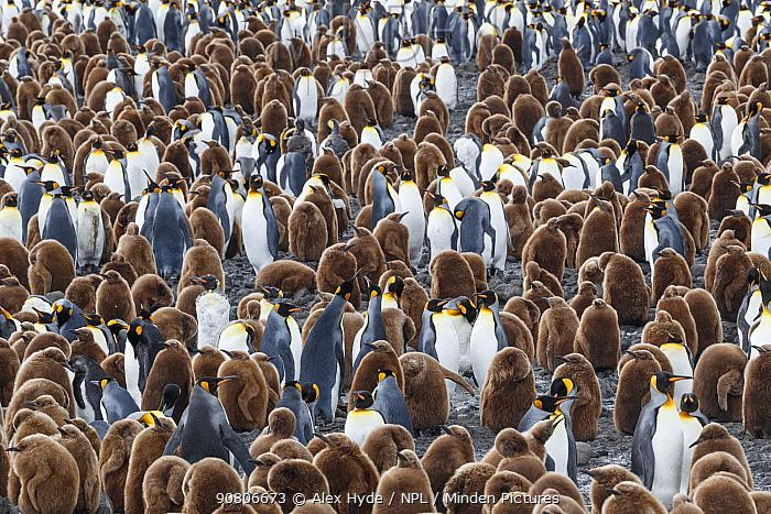 King penguin (Mirounga leonina) colony. Salisbury Plane, South Georgia. November.