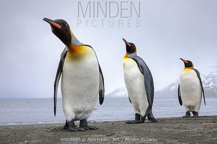 King penguins (Mirounga leonina) group of three on the shore, St. Andrews Bay, South Georgia. November.