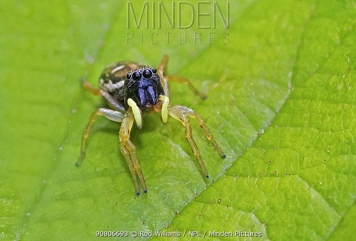 Jumping spider (Heliophanus cupreus) New Cross Cutting, Lewisham, London, England, UK. April.