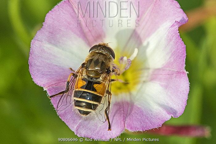 Hoverfly (Eristalis horticola) feeding on field bindweed Brockley Cemetery, Lewisham, London, England, UK. August.