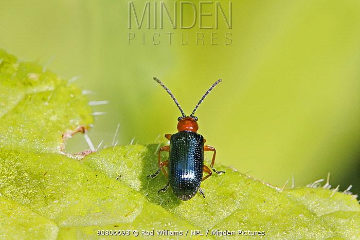 Cereal Leaf Beetle (Oulema melanopus) Beverley Court Gardens, Lewisham, London, England, UK. April.