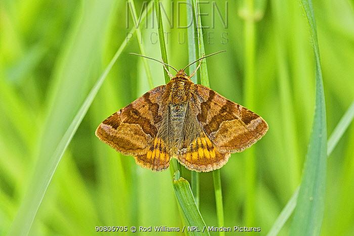 Burnet companion moth (Euclidia glyphica) Sutcliffe Park Nature Reserve, Eltham, London, England, UK. June.