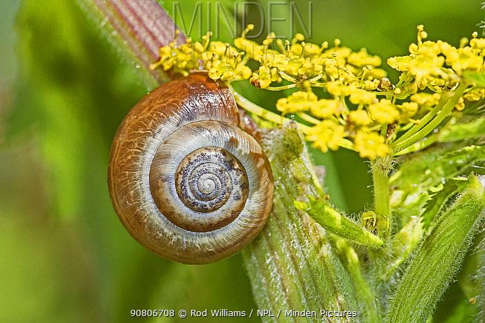 Kentish Snail (Monacha cantiana) Hutchinson's Bank, New Addington, London, England, UK. August.