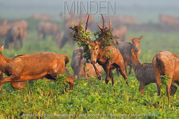 Pere David's deer / Milu (Elaphurus davidianus) during the rutting season,stag with vegetation in antlers, leaping through grass, with harem, Hubei Tian'ezhou Milu National Nature Reserve, Hubei, China