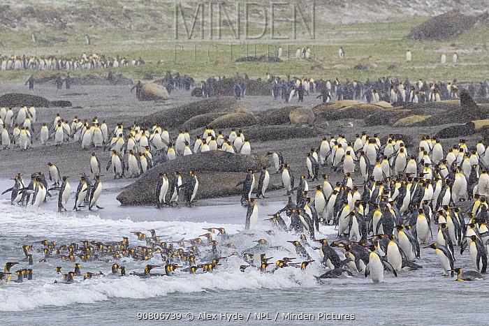 Colonies of King penguins (Mirounga leonina) and Southern Elephant Seals (Mirounga leonina) on beach at St. Andrews Bay, South Georgia. November.