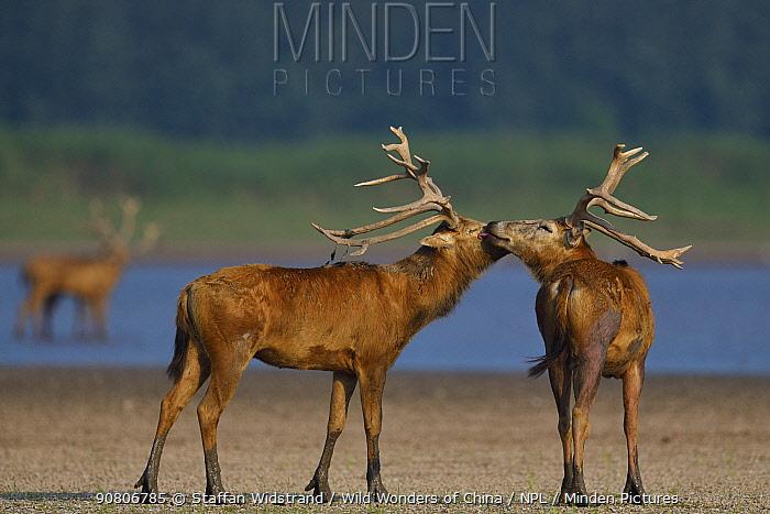 Pere David's deer / Milu (Elaphurus davidianus) stags grooming each other, Hubei Tian'ezhou Milu National Nature Reserve, Shishou, Hubei, China