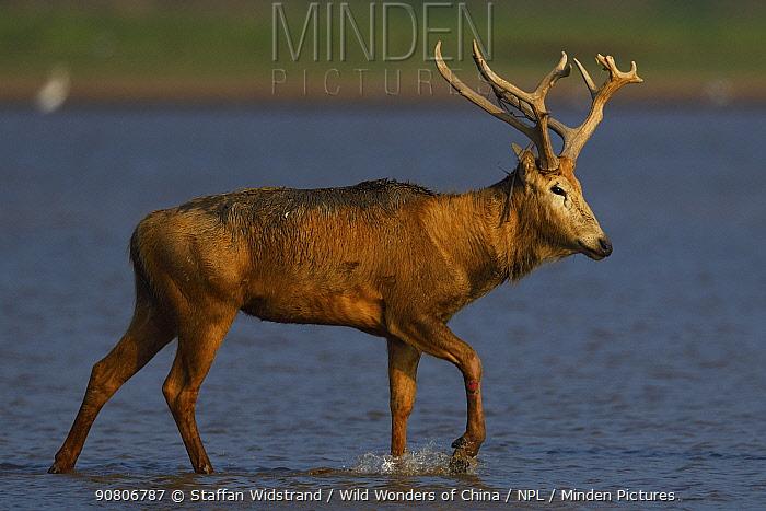 Pere David's deer / Milu (Elaphurus davidianus), walking through water of Yangtze river, Hubei Tian'ezhou Milu National Nature Reserve, Shishou, Hubei, China
