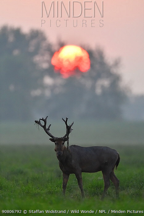 Pere David's deer / Milu (Elaphurus davidianus), a stag at sunrise, Hubei Tian'ezhou Milu National Nature Reserve, Shishou, Hubei, China