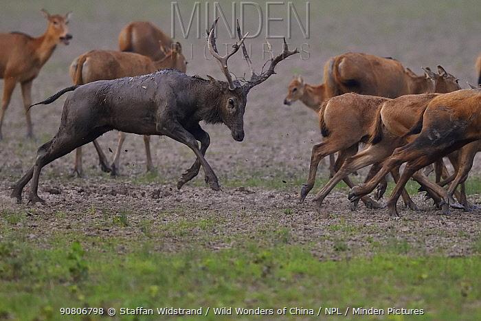 Pere David's deer / Milu (Elaphurus davidianus) during the rutting season,stag chasing females, Hubei Tian'ezhou Milu National Nature Reserve, Shishou, Hubei, China.