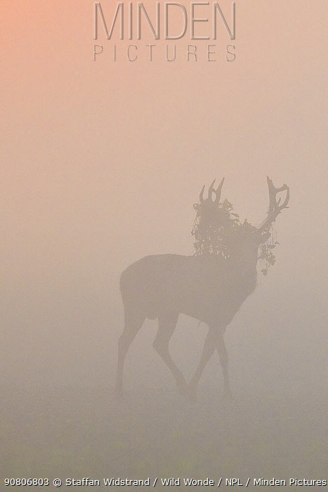 Pere David's deer / Milu (Elaphurus davidianus), stag silhouetted walking in grass on a misty morning, Hubei Tian'ezhou Milu National Nature Reserve, Shishou, Hubei, China.