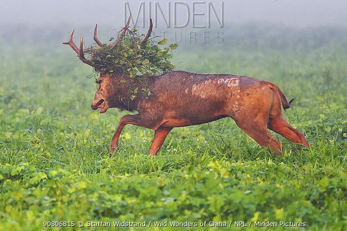 Pere David's deer / Milu (Elaphurus davidianus) stag with vegetation in antlers, Hubei Tian'ezhou Milu National Nature Reserve, Hubei, China