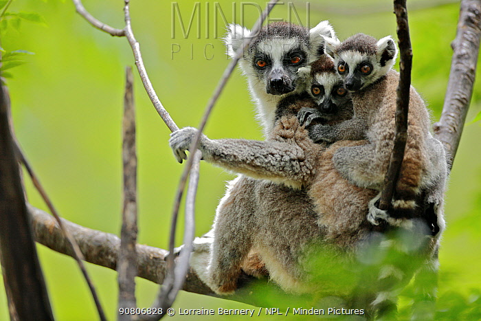 Ring-tailed lemur (Lemur catta), mother with two young babies. Anja Community Reserve, Madagascar, Endangered, endemic.