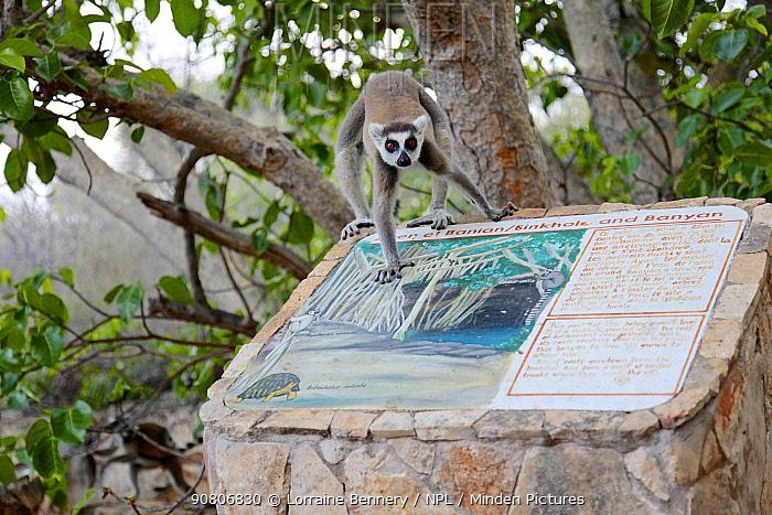Ring-tailed lemur (Lemur catta) walking on sign about nearby sinkhole. Tsimanampetsotsa National Park, Madagascar, Endangered species, endemic.
