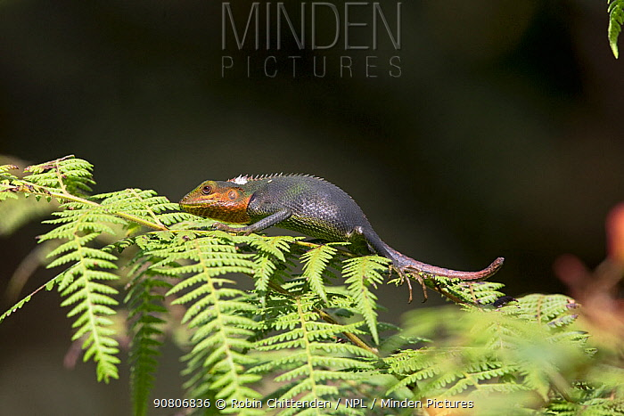 Black-lipped lizard (Calotes nigrilabris) on fern plant, Sri Lanka.