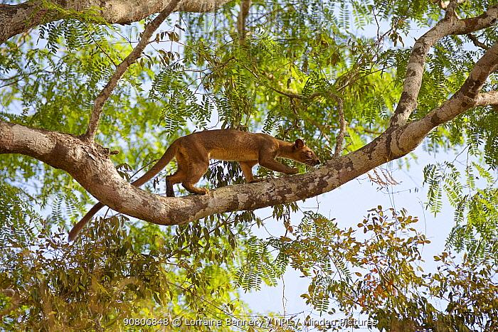 Fossa (Cryptoprocta ferox) climbing tree , Kirindy Forest Private Reserve, Madagascar, Vulnerable, endemic.