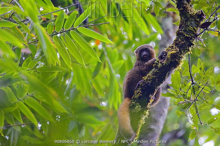 Golden bamboo lemur (Hapalemur aureus) sitting in tree, Ranomafana National Park, Madagascar, Critically Endangered, endemic.
