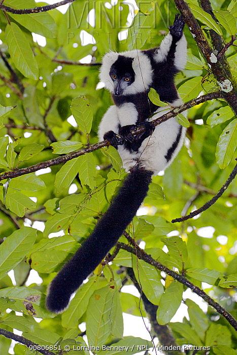 Hill's ruffed lemur (Varecia variegata editorum), sitting in tree, Ranomafana National Park, Madagascar, Critically Endangered, endemic.