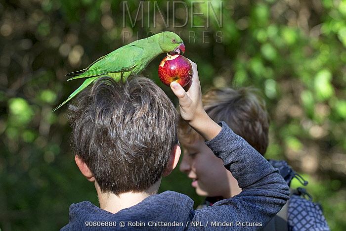 DO NOT UPLOAD Boys feeding Rose-ringed Parakeet (Psittacula krameri) London, England, UK, September.