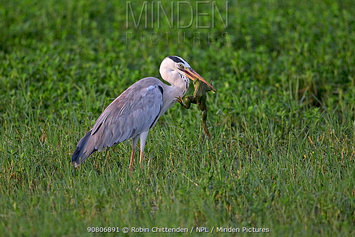 Grey Heron (Ardea cinerea) Sri Lanka.