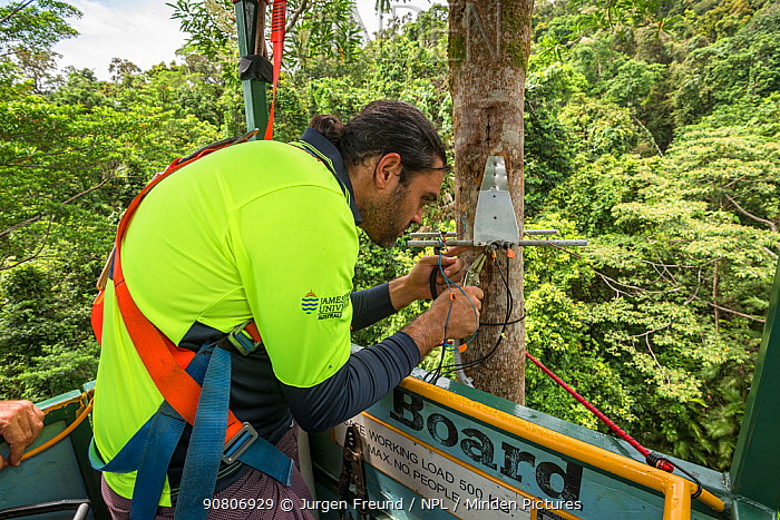 Dr. Alex Cheesman researching changes in phloem flux to environmental variables in two tropical forest canopy tree species at the Daintree Rainforest Observatory, Queensland, Australia. February 2015