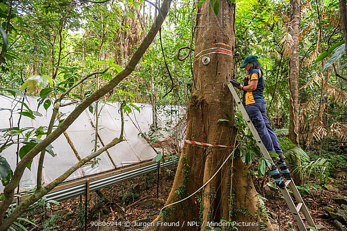 Dr. Yoko Ishida at the Daintree Drought Experiment downloads data from the trees carrying her scientific instruments. Daintree Rainforest Observatory, Queensland, Australia. September 2015