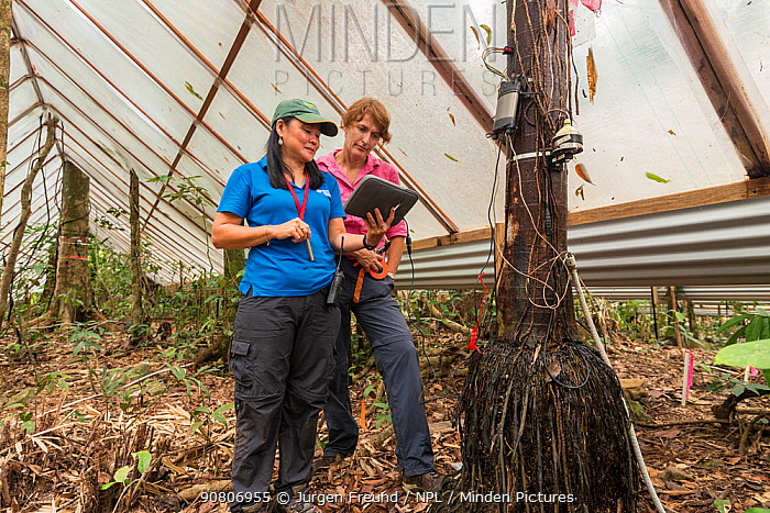 Leader of the Drought Experiment Dr. Susan Laurance and Dr. Yoko Ishida downloading data from the trees carrying scientific instruments at the Daintree Rainforest Observatory, Queensland, Australia. December 2015
