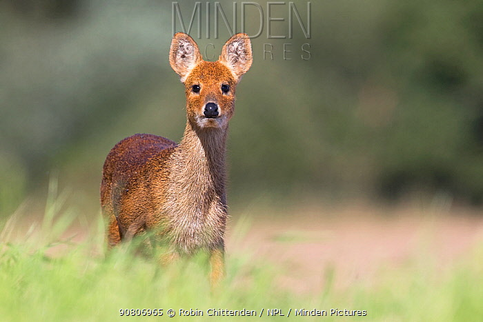 Chinese Water Deer (Hydropotes inermis) Norfolk UK September