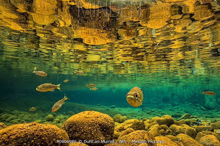Rock flagtail (Kuhlia rupestris) fish in river on the Southern Lagoon, Forgotten Coast, Lagoons of New Caledonia: Reef Diversity and Associated Ecosystems UNESCO World Heritage Site. New Caledonia.