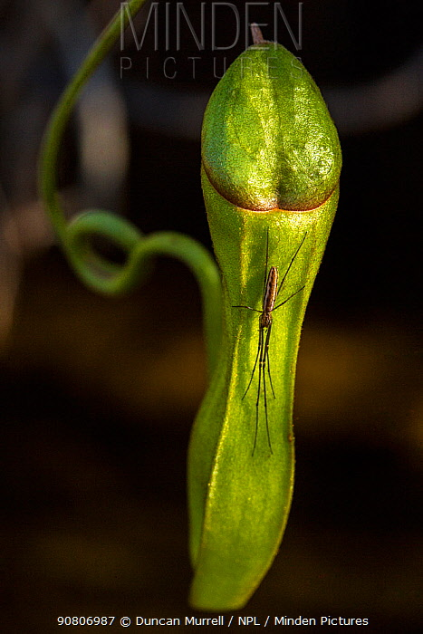 Long jawed orbweaver (Tettigoniidae) on a pitcher plant (Nepenthes vieillaedii), the Forgotten Coast, SE New Caledonia.