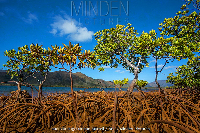 Mangroves on Tupeti Island, Southern Lagoon, Forgotten Coast, Lagoons of New Caledonia: Reef Diversity and Associated Ecosystems UNESCO World Heritage Site. New Caledonia.