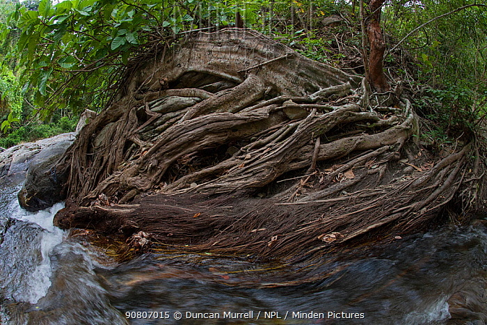Tree roots near the Ulanguan Falls, Puerto Princesa, Palawan, the Philippines.