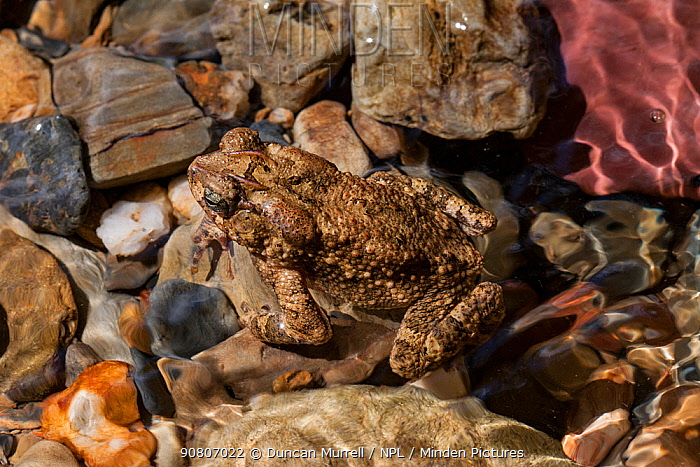 Philippines toad (Ingerophrynus philippinicus), endemic, Cleopatra's Needle Critical Habitat, Palawan, the Philippines.