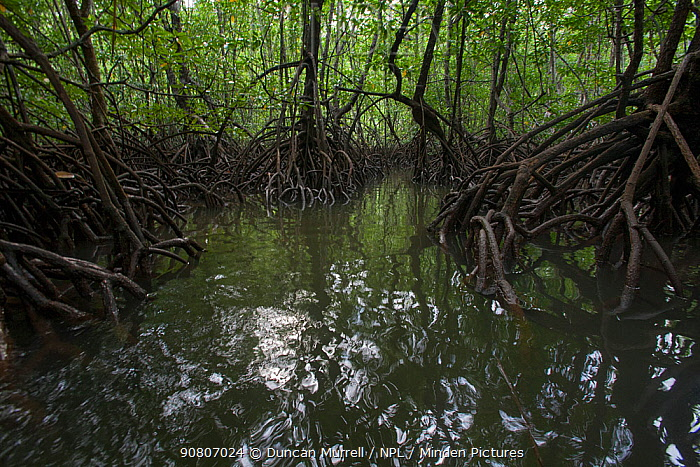 Mangroves in San Carlos, Puerto Princesa, Palawan, the Philippines.