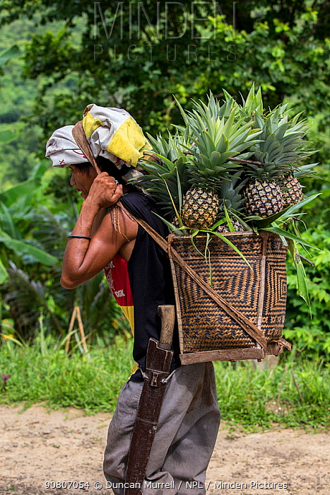 Indigenous Palawano man carrying pineapples in a traditional pandan basket, South Palawan, the Philippines. August 2016
