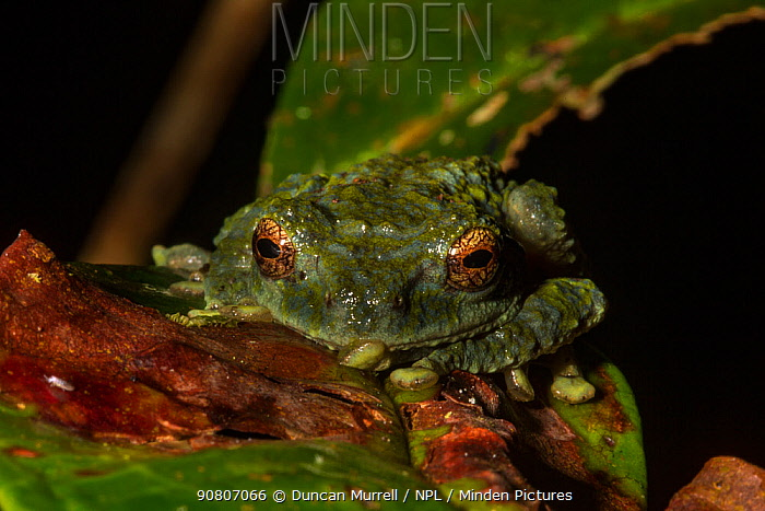 Frilled tree frog, (Rhacophorus appendiculatus), Kinabalu Park, UNESCO World Heritage Site, Sabah, Borneo.