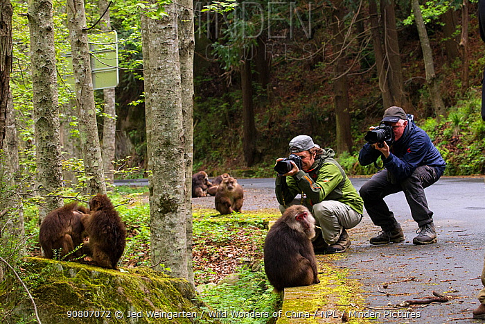 Photographer Staffan Widstrand and Magnus Lundgren, founders of Wild Wonders of China, taking photos of Tibetan macaque (Macaca thibetana) Tangjiahe Nature Reserve, Sichuan Province, China, April 2015.