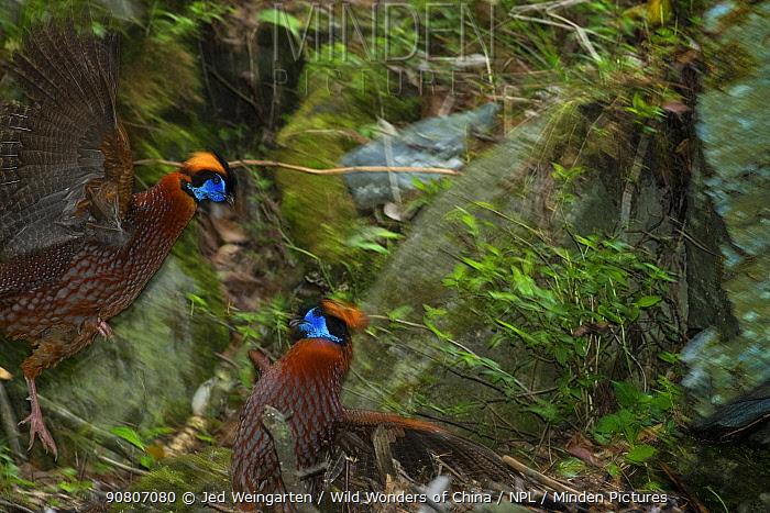 Temminck's tragopans (Tragopan temminckii) fighting, Tangjiahe Nature Reserve, Sichuan province, China.