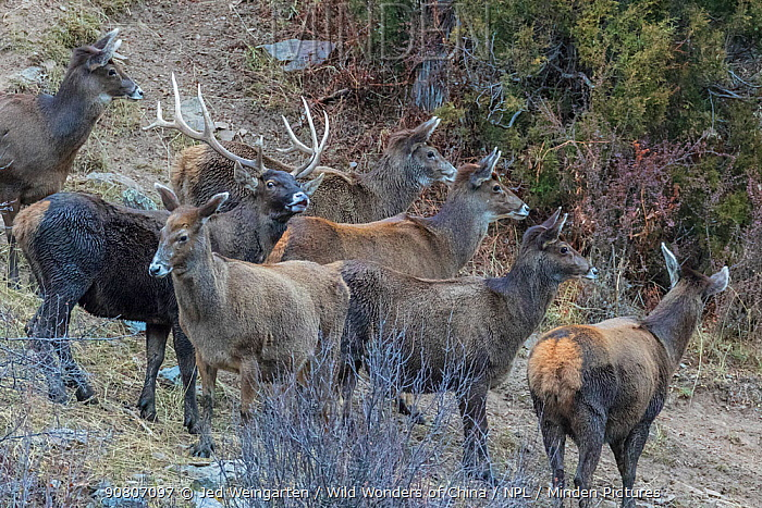 Herd of White-lipped deer (Cervus albirostris) one male with his females standing at the tibetan plateau in Serxu, Garze Prefecture, Sichuan Province, China