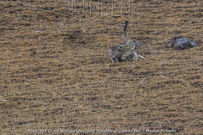 Snow leopard (Uncia uncia) killing Bharal (Pseudois nayaur) prey, Serxu County, Garze Prefecture, Sichuan Province, China.