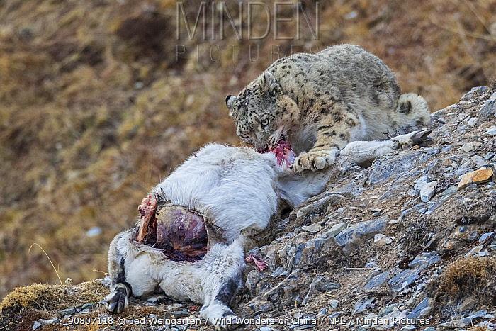 Snow leopard (Uncia uncia) feeding on Bharal (Pseudois nayaur) prey, Serxu County, Garze Prefecture, Sichuan Province, China.