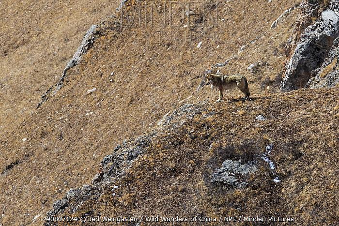 Tibetan wolf (Canis lupus chanco) in mountain landscape, Serxu County, Garze Prefecture, Sichuan Province, China.