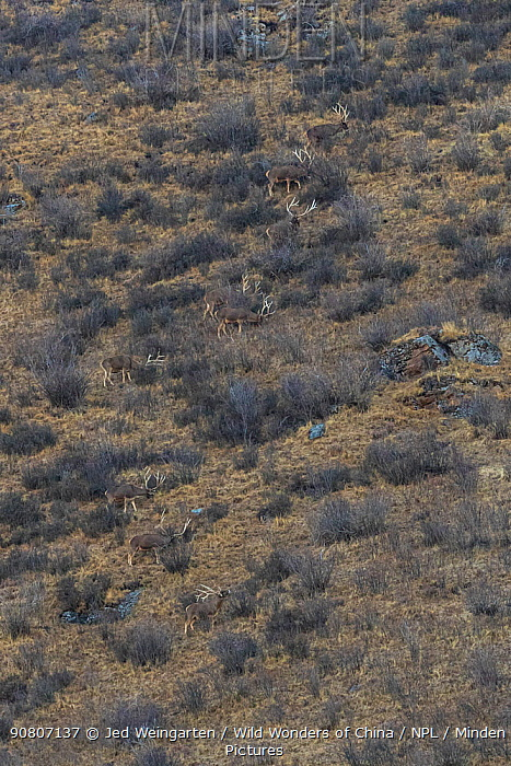 White-lipped deer (Cervus albirostris) in mountain landscape, Serxu County, Garze Prefecture, Sichuan Province, China.