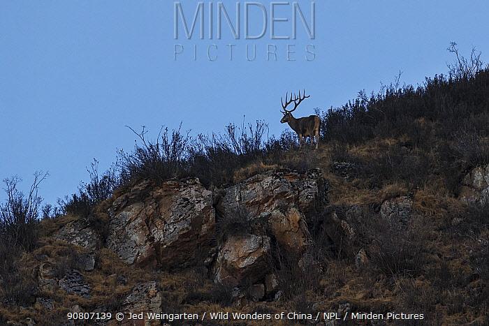 White-lipped deer (Cervus albirostris) stags in mountain landscape, Serxu County, Garze Prefecture, Sichuan Province, China.
