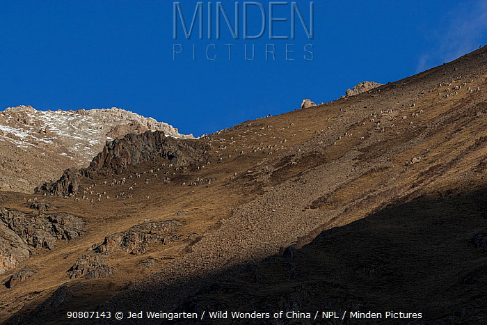 Mountain landscape with herd of Bharal (Pseudois nayaur), Serxu County, Garze Prefecture, Sichuan Province, China.