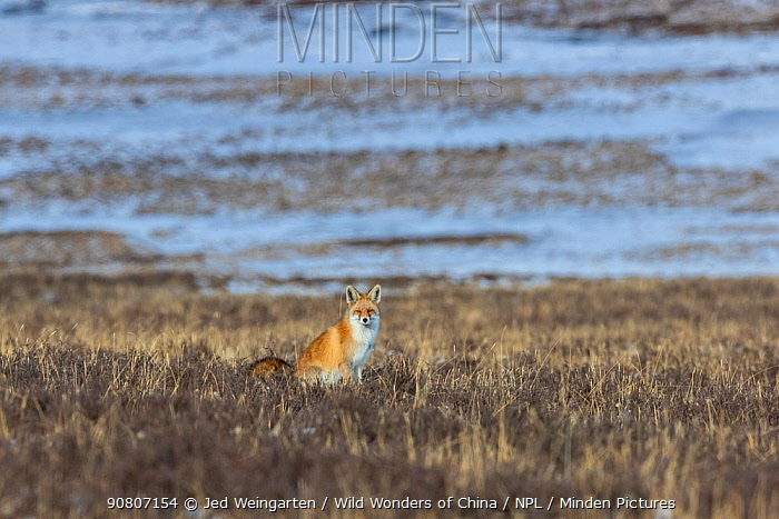 Red fox (Vulpes vulpes) sitting on the ground, Tibetan Plateau, Sichuan Province, China,