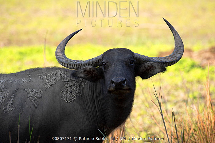 Wild water buffalo (Bubalus arnee) female, Kaziranga National Park, Assam, India.