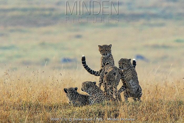 Cheetah (Acinonyx jubatus), female and cubs at sunrise, Masai-Mara Game Reserve, Kenya