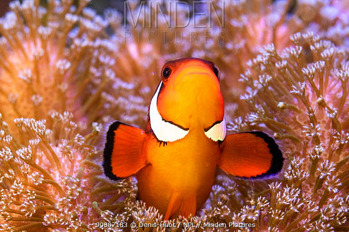 Clownfish (Amphiprion sp) in anemone home, Philippines.