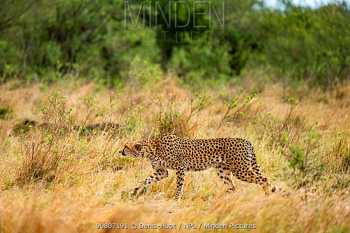 Cheetah (Acinonyx jubatus) female stalking, Masai-Mara Game Reserve, Kenya