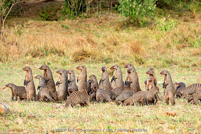 Banded mongoose (Mungos mungo), group in the alert white searching for food Masai-Mara game reserve, Kenya.